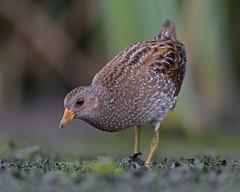 799A6645-crake2 (Jerry OB) Tags: spotted crake reed bed feeding porzana