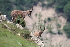 Bouquetins des Alpes (fauneetnature) Tags: bouquetin bouquetins ibex animalier animaux animals alpes alps animauxmontagne maurienne montagne mountain mountainanimals savoie