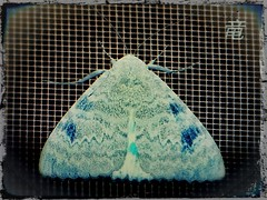 blue moth (Ola 竜) Tags: moth butterfly net window insect macro fz200 closeup negative inversion nightbutterfly blue wings animal portrait artwork artistic art cg image bluish turquoise