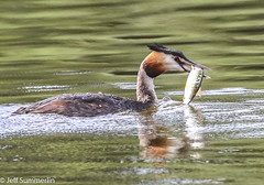 Great crested grebe with lunch. (Jeff Derbys) Tags: greatcrestedgrebe podicepscristatus mapperleyreservoir shipleycountrypark