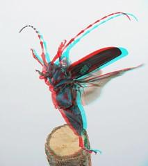 Anoplophora malasiaca, anaglyph (Mushimizu) Tags: ゴマダラカミキリ anoplophoramalasiaca beetle stereo 3d anaglyph longicornbeetle
