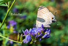 Before Autumn... (BlueLunarRose) Tags: bandedhairstreak alfalfa butterfly bug insect flowers plant green blue purple blossoms nature macro garden sonyalphadslra200 bluelunarrose sal1855