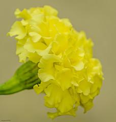 Marigold (ianbartlett) Tags: outdoor flowers buds bees spiders light colour macro monochrome