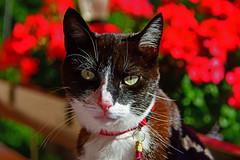 Mon Ratatouille (Diegojack) Tags: vaud suisse echandens chats ratatouille portrait d500 nikon nikonpassion