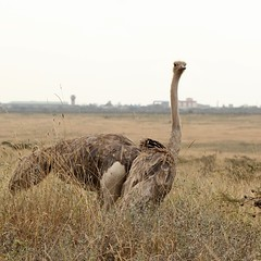 Dancing queen (Nagarjun) Tags: ostrich bigbird wildlife avifauna nairobinationalpark kenya eastafrica savannah safari