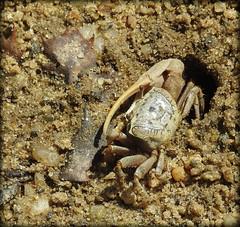 DSCN3216 (DianeBerky19) Tags: nikon coolpixp900 summer estuary marshes lowtide crabs fiddlercrab beach