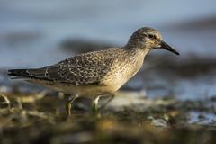 Biegus rdzawy/Red Knot (mirosławkról) Tags: wild wildlife animal bird nature nikonnaturephotography 150600 sea water beach poland blue sky grass red knot