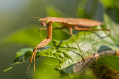 What are you looking at ? (Bernie Kasper (5 million views)) Tags: art berniekasper bugs bug cliftyfallsstatepark color cliftyfalls d600 eyes family green hiking indiana insect insects light leaf madisonindiana macro madisonindianacliftyfallsstatepark madison nature nikon naturephotography new outdoors outdoor old outside photography park plants plant prayingmantis raw summer statepark travel trail wildflower unitedstates usa