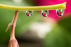 Water drops clothesline // Tendedero de gotas de agua (Antonio F. Alvarez) Tags: water drops natural agua gotas plants flower plantas flores color colores macro macrophotography macrofotografía nikond750 sigma 105mm
