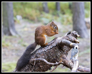 IMG_0171 Red Squirrel