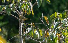 migrating warbler (long.fanger) Tags: centreville virginia commonyellowthroatgeothlypistrichas utilityeasementarea