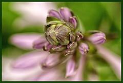 Not so often / Niet zo vaak / HMM (jo.misere) Tags: hmm rhododendron