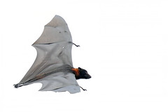 Flying Fox (Alan Gutsell) Tags: flyingfox fox rodent bat flying queensland australian nature wildlife photo redfox red
