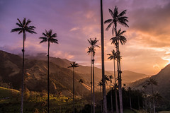 Atardecer Valle de Cocora (Juliancs) Tags: sunset sunlight atardecer atardeceres arbol tree landscape paisaje palmadecera contraste colombia cocora salento quindio nature naturaleza natural