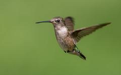 Ruby-throated hummingbird (Lynn Tweedie) Tags: canon male missouri beak feathers tail bird sigma150600mmf563dgoshsm wing rubythroatedhummingbird green eos eye ngc animal