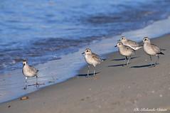 Pivieressa _003 (Rolando CRINITI) Tags: pivieressa uccelli uccello birds ornitologia viale natura