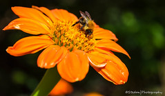 The Humble Bumble (stedanphotography) Tags: bee insect nikon d3300 flower macro