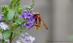 Hanging On........ (law_keven) Tags: hoverfly macrophotography photography catford london england uk gardens