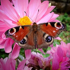 Catching Some Rays (Geoff Fagan) Tags: butterfly butterflymacro pink yellow wings macromondays multicolour macro macrophotography macrodreams flower flowergarden flowerlovers flowerlover floweraddict floweraddicts garden summer macromondaysmulticolour near close closeup