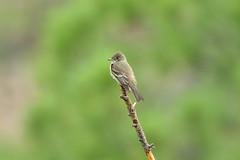 Western Wood-Pewee (4985) (Bob Walker (NM)) Tags: bird perching twig pewee westernwoodpewee contopussordidulus wewp losalamos newmexico usa