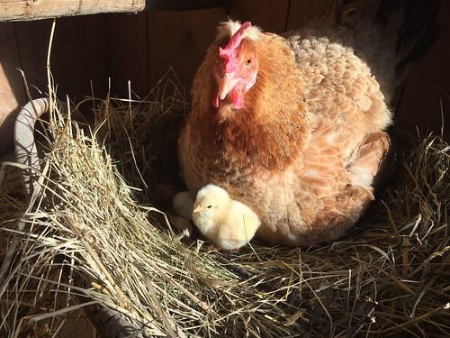 Hühnerbabies