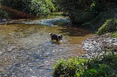 Juju no rio (mcvmjr1971) Tags: parque estadual da serra do papagaio lado de baependi minas gerais brasil nikon d7000 border collie dog cachorro fun river rio play brincando água water 2018