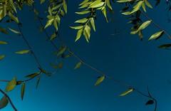 Blue Skies and Green Leaves (katyearley) Tags: t6 rebel canon vines flash green blue skies leaves