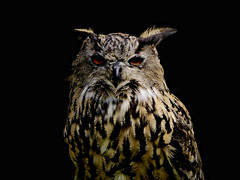 Eagle Owl (evakatharina12) Tags: bird bubobubo european eagleowl owl animal lowkey feathers eyes