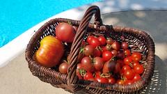 Basket of Heirloom Tomatoes (Tatiana12) Tags: heirloom tomatoes heirloomtomatoes annarbor michigan garden journal