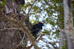 Carpintero Negro (Tabriss) Tags: carpintero negro hembra ave bird bosque forest parque park conguillio araucania chile tabriss carlos riquelme canon eos 750d t6i