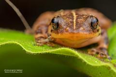 Narrow-mouthed frog (Platypelis tuberifera) - DSC_0269 (nickybay) Tags: africa madagascar andasibe macro platypelis tuberifera microhylidae narrowmouthed frog
