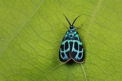 Day-flying Moth (Clelea yuennana, Procridinae, Zygaenidae) (John Horstman (itchydogimages, SINOBUG)) Tags: insect macro china yunnan itchydogimages sinobug canon entomology moth lepidoptera blue zygaenidae procridinae tweet topf25 fbipm fb tumblr topf50 top