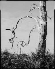 Crochu (Philippe Torterotot) Tags: 4x5 chamonix45n2 fomapan100 largeformat grandformat noirblanc blackandwhite filmisnotdead film tree arbre v700