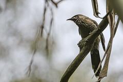 Wattle Bird (Thunder1203) Tags: victoria australia au wattlebird feathers nature canonaustralia canoncollective beak bill avarian beaconsfield cardinia