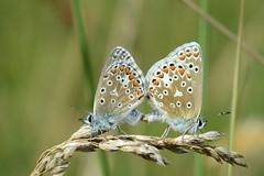 Common Blue Holme NWT Norfolk 3 (JohnMannPhoto) Tags: common blue holme nwt norfolk