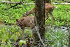 Deer-Whitetail_2157ce (Porch Dog) Tags: 2018 garywhittington nikond750 nikkor200500mm wildlife nature outdoors summer september kentucky slough deer animal whitetail doe
