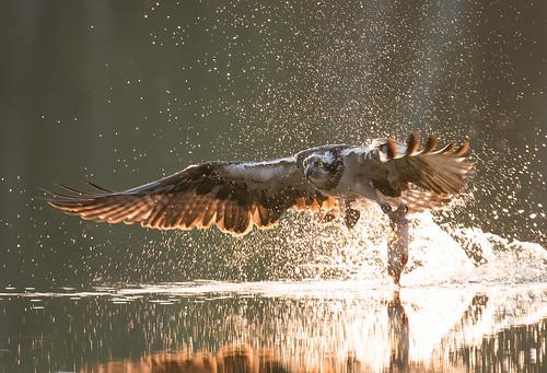 [619] 'Osprey breakfast ' by Piotr Krześlak; Category: Water and nature (© Piotr Krześlak, WaterPIX /EEA)