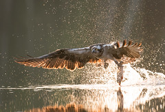 [619] 'Osprey breakfast ' by Piotr Krześlak; Category: Water and nature (© Piotr Krześlak, WaterPIX /EEA) (European Environment Agency (EEA)) Tags: osprey attack forest photography fly take kill bird green river capture power day horizontal adult success feather trout pond stream summer light scotland predatory lake grip hold span hunter talon britain wing predators contact creek pool death hunt fauna water successful wild nature fish europe prey animal catch wildlife intercept