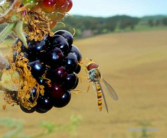 Hoverfly on Bramble1 (g crawford) Tags: hoverfly insect westkilbride ayrshire northayrshire bramble blackberry fruit macro berry crawford