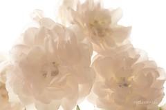 Witte roosjes/White rose (roelivtil) Tags: smileonsaturday white roses flower closeup macro highkey whiteonwhite fantasticflower