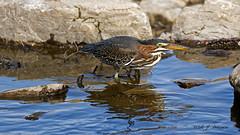 IMG_0984_DxOFB (Aria (RJWarren)) Tags: greenheron butoridesvirescens nature wildlife wild fauna avian bird heron shorebird midwest iowa juvenile young canon 6d tamron150600mm