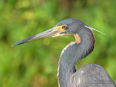 Tricolored Heron - Boynton Beach, FL (Michael W Klotz - The Bird Blogger.com) Tags: tricolored heron egrettatricolor birdboynton beach florida green cay nature center welands walkway boardwalk blogger com brown gaywhite rust yellow beak eye profile