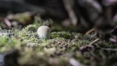 Toadstool-2 (ianmiddleton1) Tags: fungi toadstool fungus autumn moss leaves