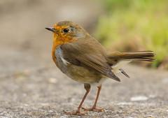 Juvenile Robin (ian._harris) Tags: bird colours d7200 flickr juvenile life naturaleza natural nature naturephotography nikon robin september sigma wildlife garden animals