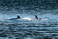 3 Orcas' hunting 1 seal (ferglandfoto) Tags: d5c1447 killerwhale killerwhales transientorca orcahunt transientorcapod transientorcas transientkillerwhale whale whalewatching whalephotography nature naturepicture naturepic natureshot naturephotography seal