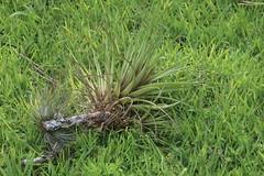 Tillandsia_sp_Chinkultic_2_2 (Mark Egger) Tags: tillandsia bromeliaceae