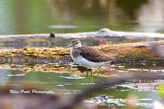 IMG_8268 (nitinpatel2) Tags: bird nature nitinpatel