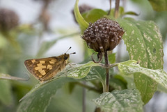 2018 - Day 252:  Peck's progeny (in explore) (Mark.Swanson) Tags: insect skipper butterfly pecksskipper beebalm monardafistulosa prairie illinois