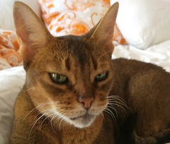 Kali 14 Year old. (Ingrid Friis Photo) Tags: abyssinian friendly sweet cat katt abessinier lekful gullig sweetheart