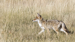 Coyote (AmyEHunt) Tags: coyote animal wildlife wild mammal dog nature grass prairie fence wire barbedwire wyoming laramie canislatrans canine